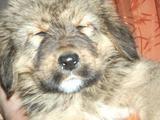 Тибетские мастифы щенки