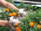Котята сиамские 2 месяца
